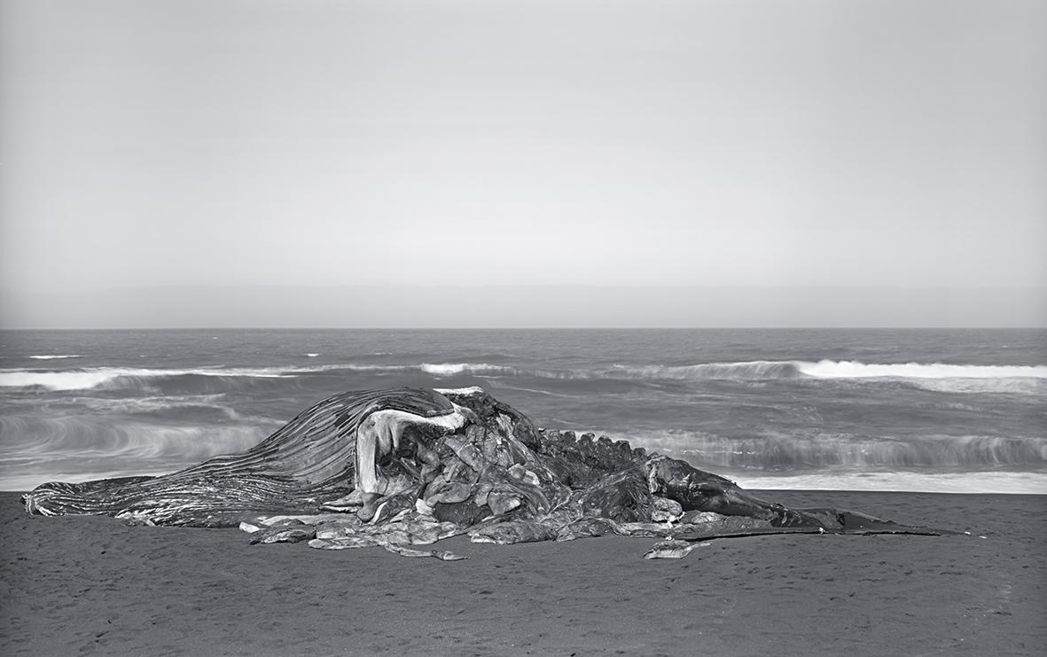 foto: © Richard Learoyd - Whale, Pacifica 2015