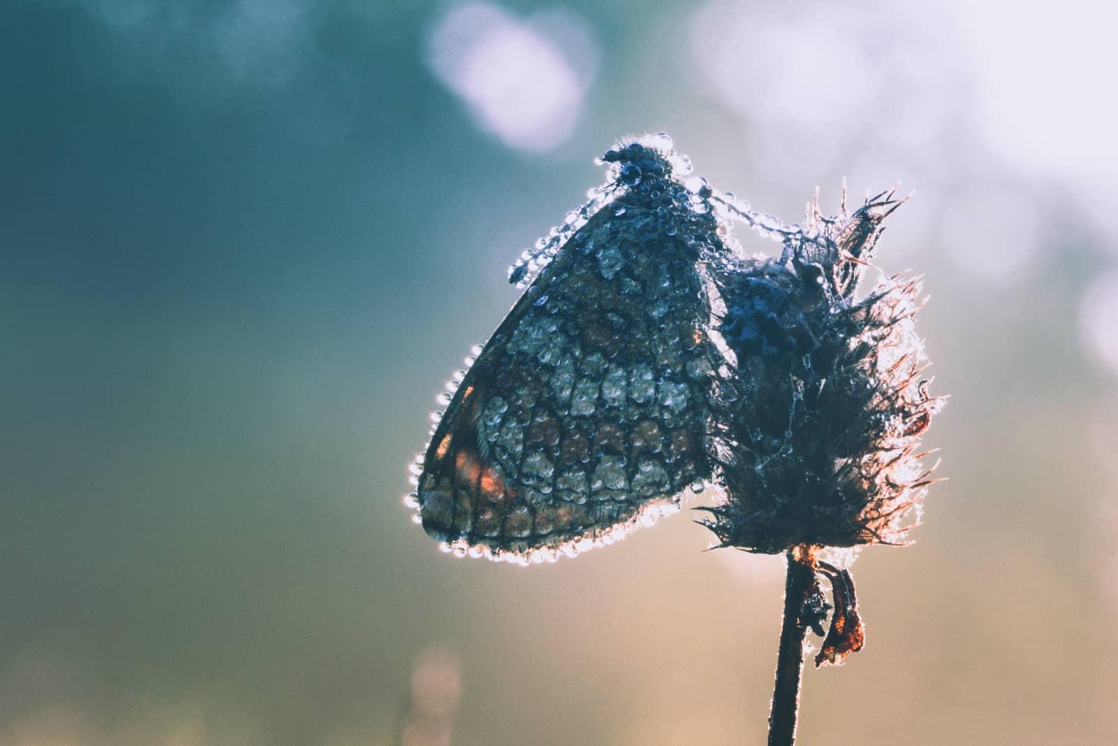 Bosparelmoervlinder in tegenlicht door Monique Derks