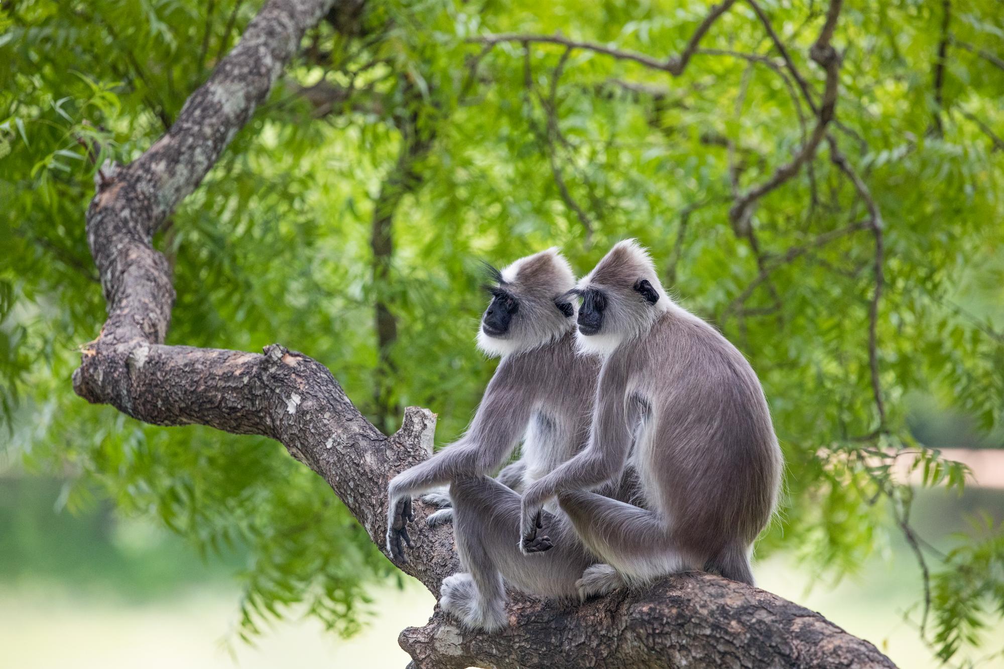 Twee aapjes op een boomtak, wildlife fotografie van Richard Bernabe