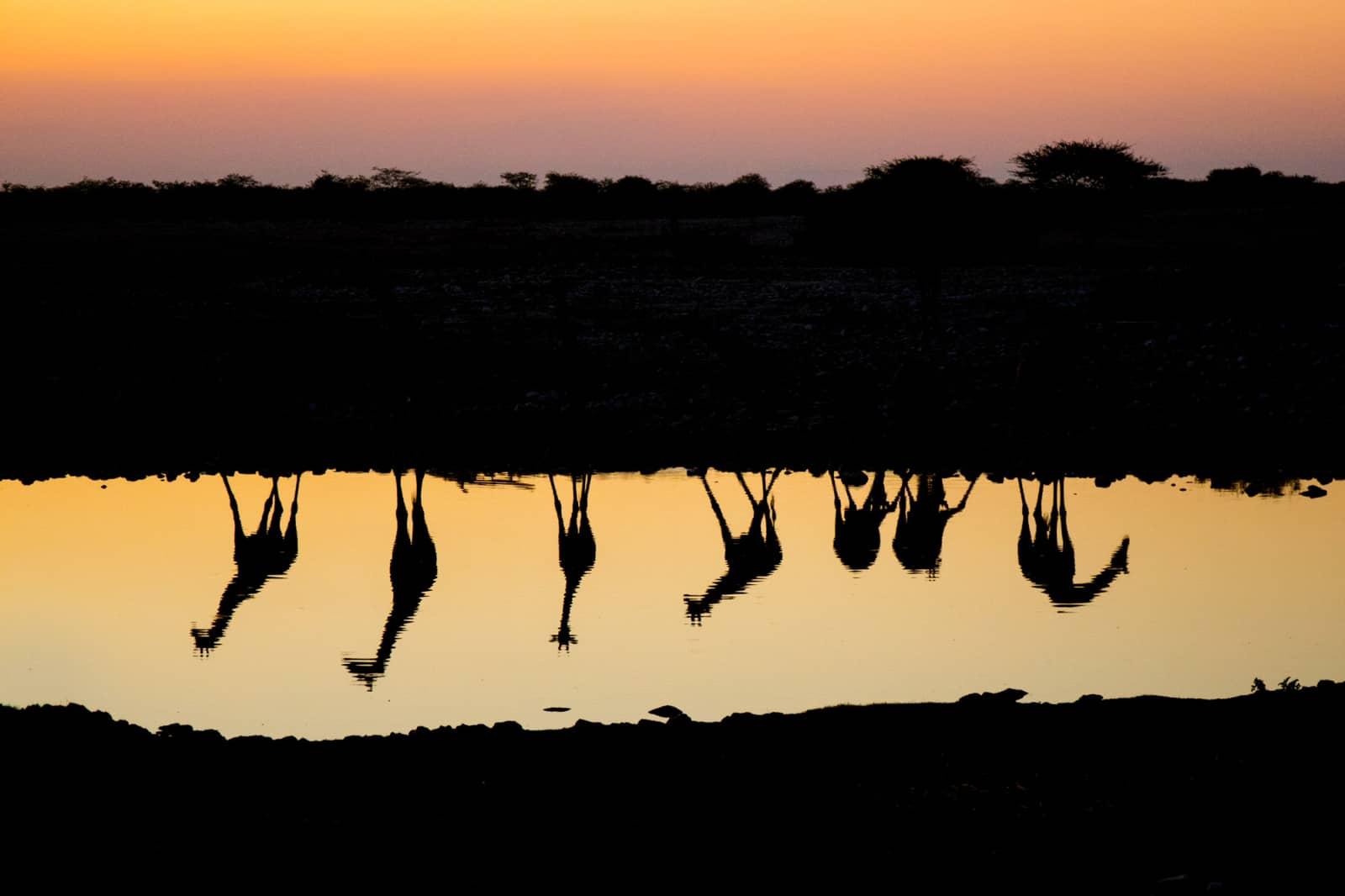 Giraffen aan waterkant in silhouet, wildlife fotografie van Richard Bernabe