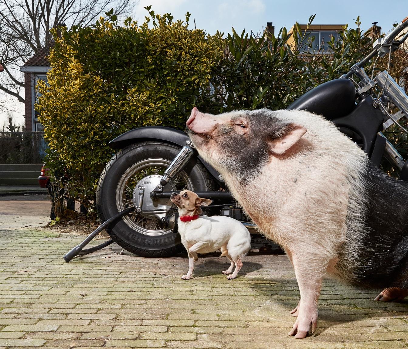 Isabella Rozendaal Foto Opdracht 2016 voor Stadsarchief Amsterdam, een varken en een hond bij brommer