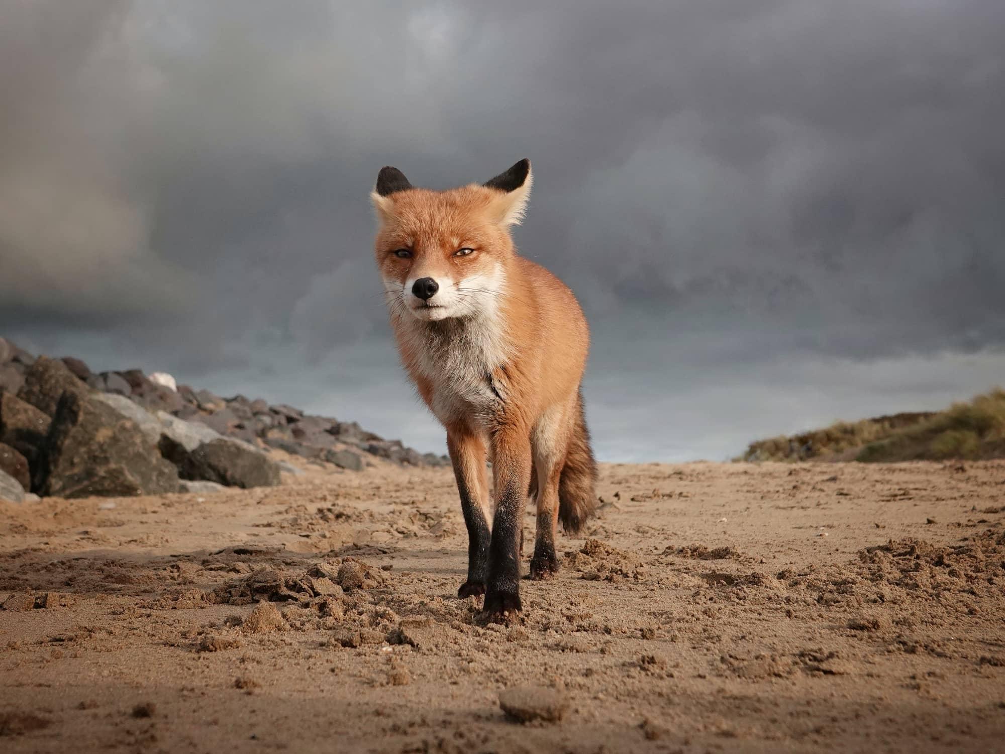 Vos in landschap door Marleen Van Eijk - genomineerd voor Open Photographer of the year 2020