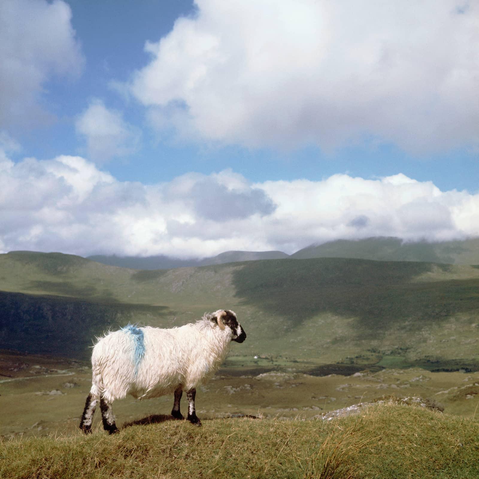 foto: Sem Presser/MAI - Ierland jaren zestig, landschap met schaap