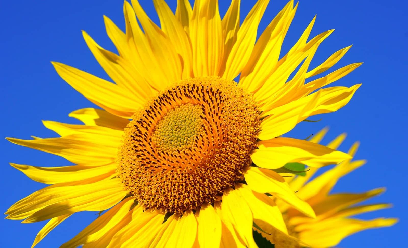 grote zonnebloem van dichtbij met blauwe lucht