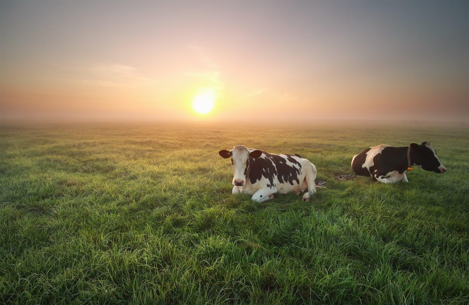 koeien liggend in weide met zonsondergang