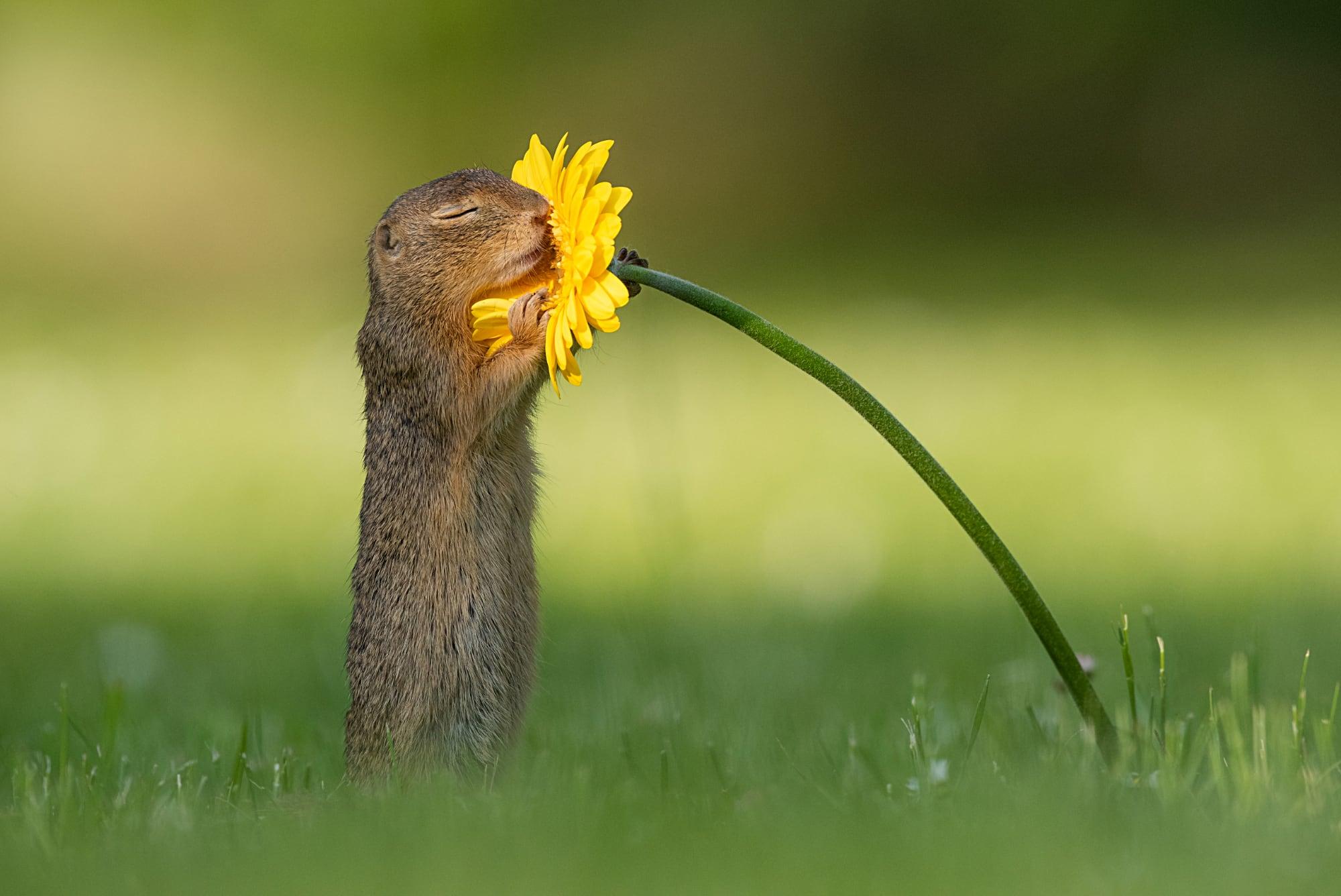 Eekhoorn houdt gele bloem vast met dichte oogjes, uit De Pracht van de Natuur, Dieren door de lens van Dick van Duijn - isbn 9789000374199