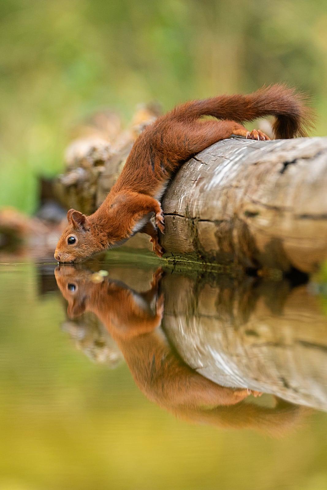 foto: © Dick van Duijn - Eekhoorn hangt over boomstronk in water om te drinken
