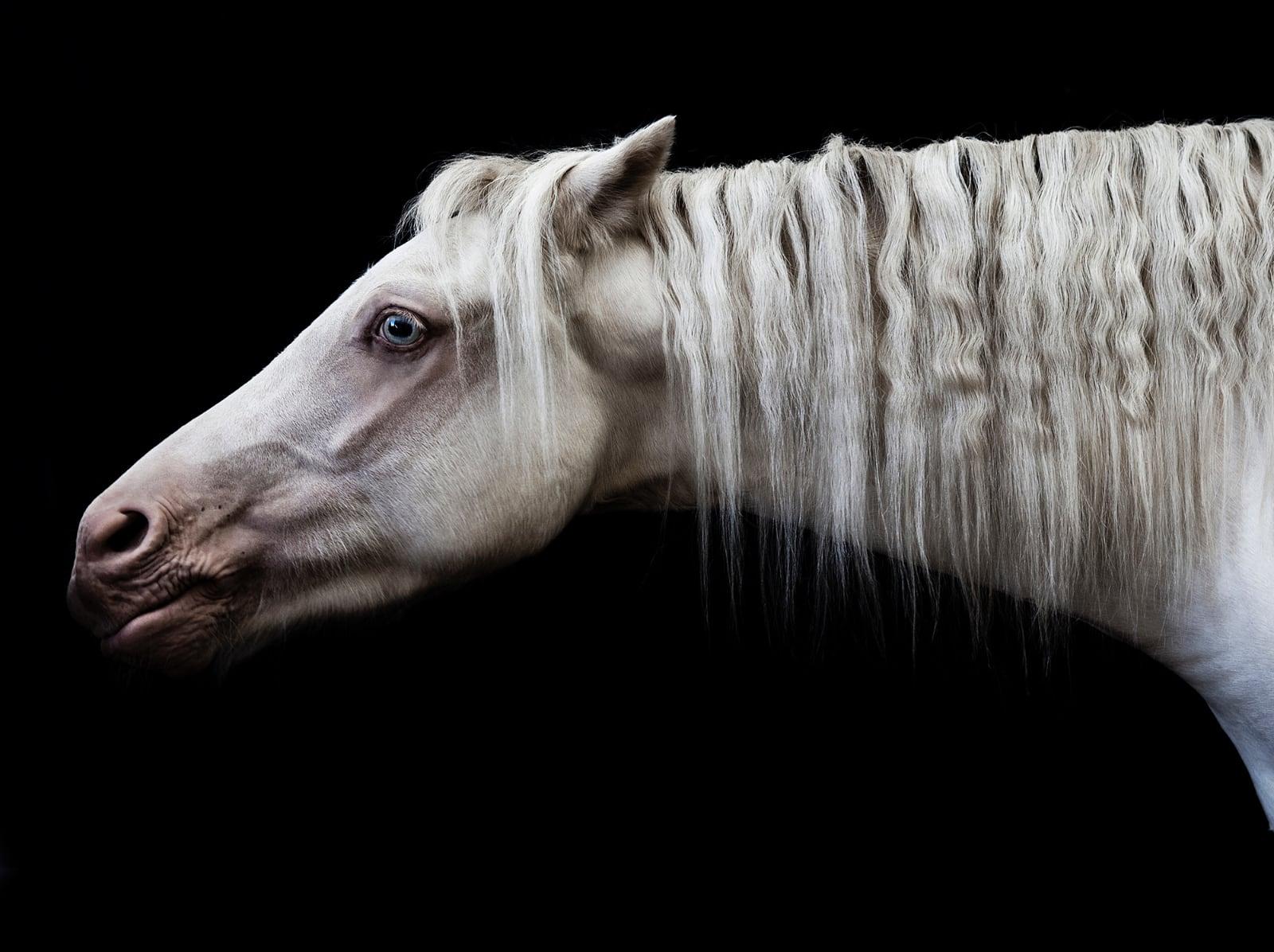 foto: © Jenny Boot - Bugatti, paardenkop met nek en manen, wit paard met blauwe ogen