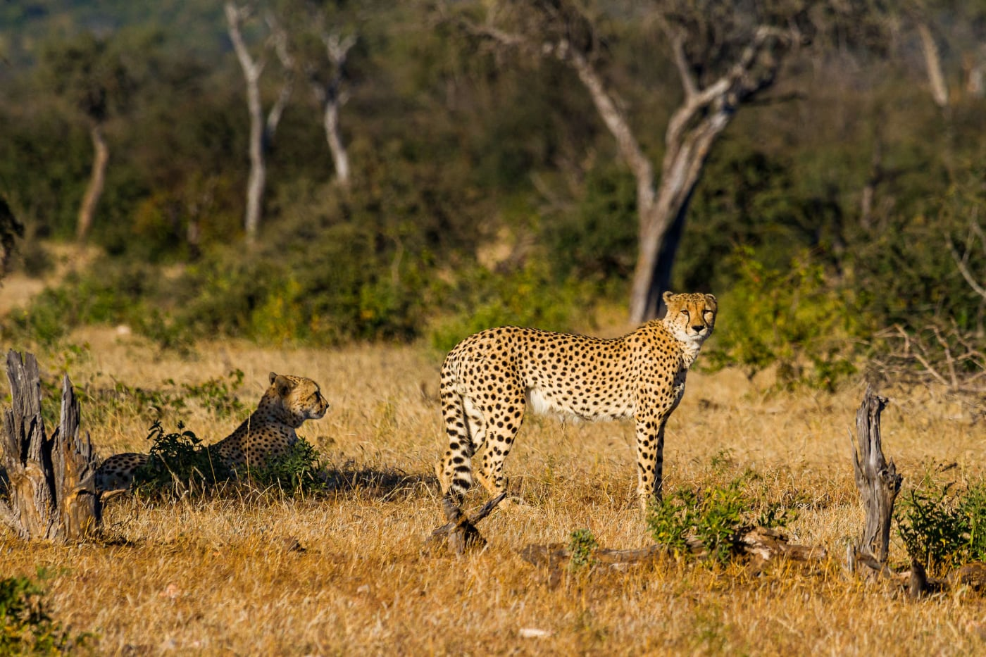 foto: © De Fotoreisshop - tijgers in hun habitat