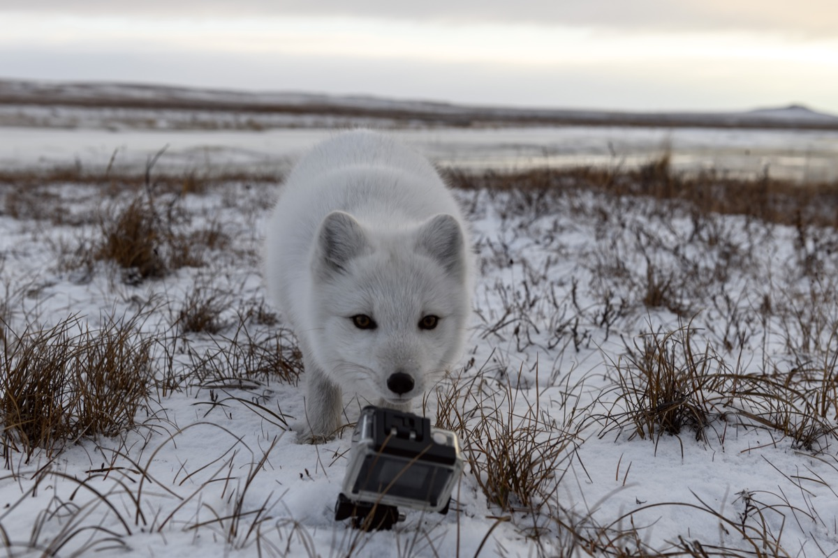 sneeuwhond met GoPro aan zijn nek in sneeuwlandschap