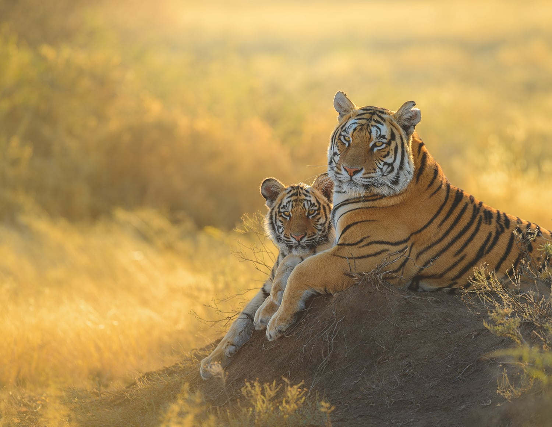 foto: © Marsel van Oosten - International tiger day—South Africa