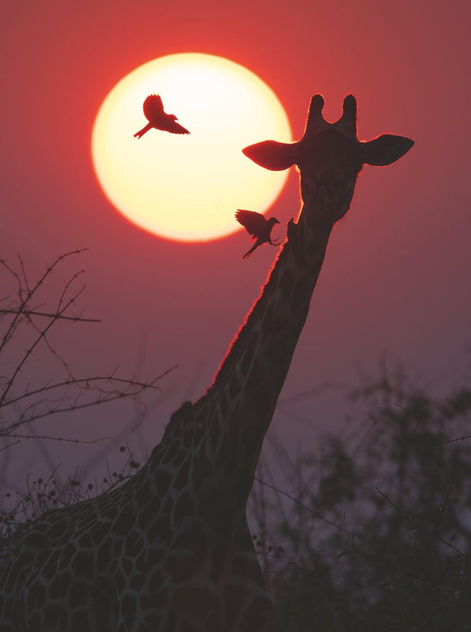 foto: © Marsel van Oosten - The Tower, Botswana. Foto van giraffekop met volle maan