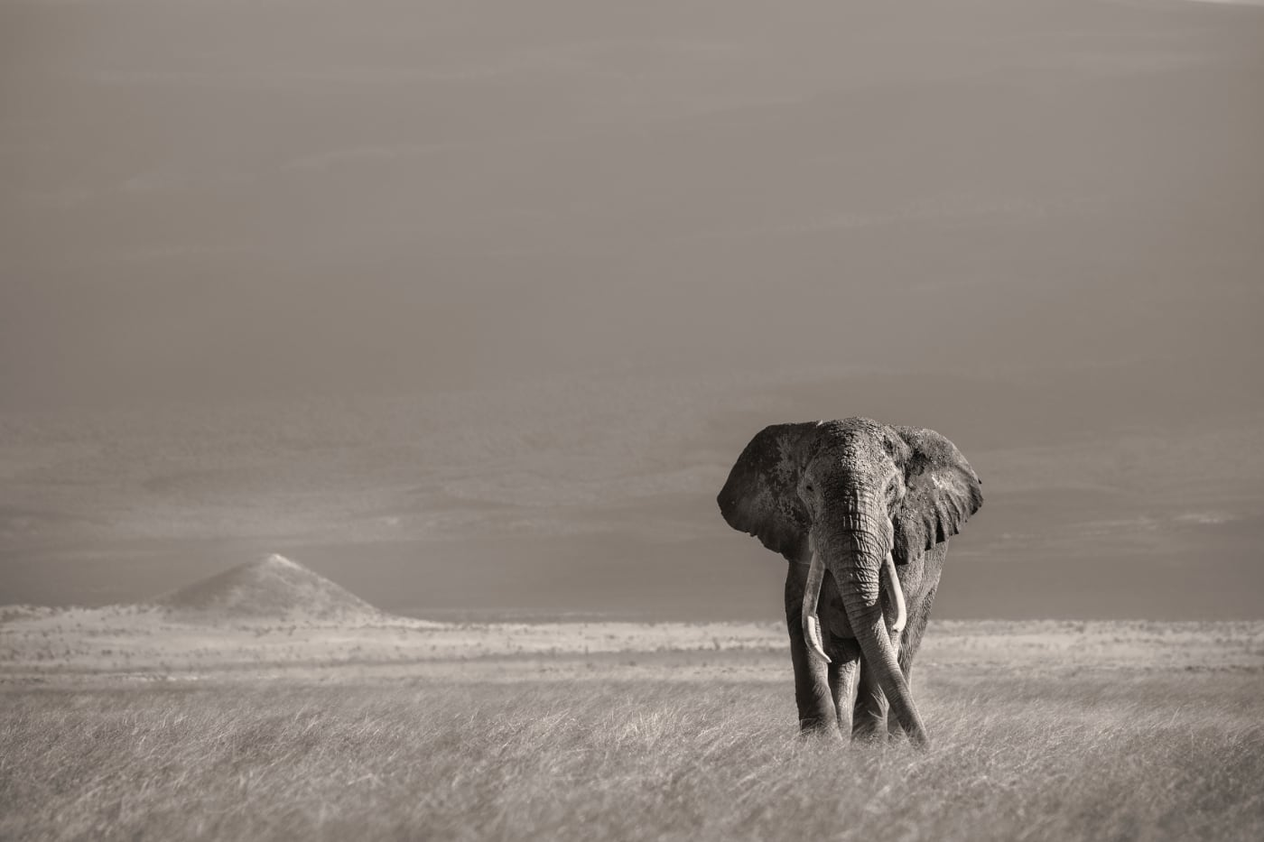 Joachim Schmeisser - Lonely Bull in front of Kilimanjaro