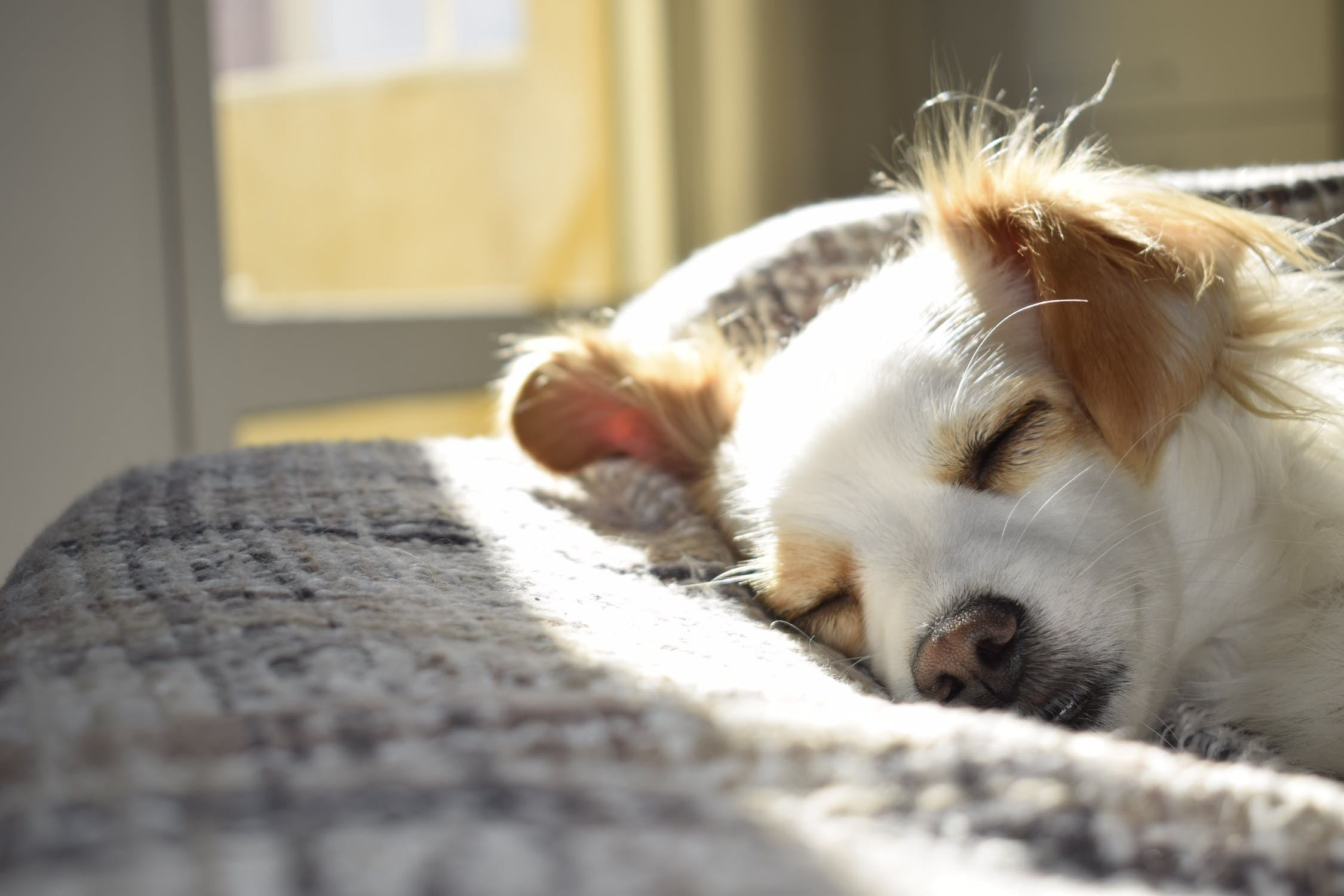 little dog lying on bed in the sun