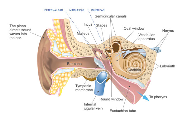 An image of the outer, middle, and inner ear.