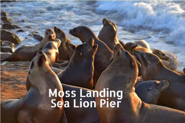 moss landing sea lions