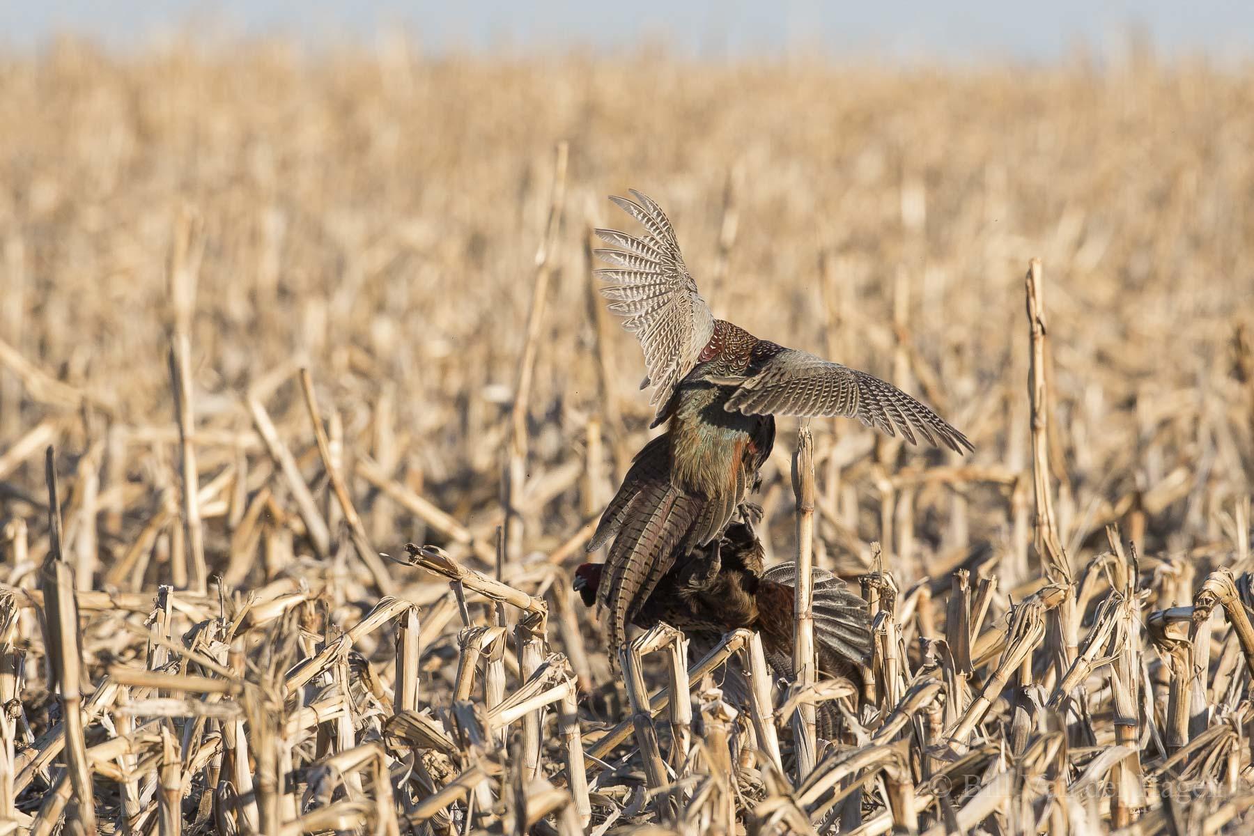 ringneck pheasant photography springtime battle