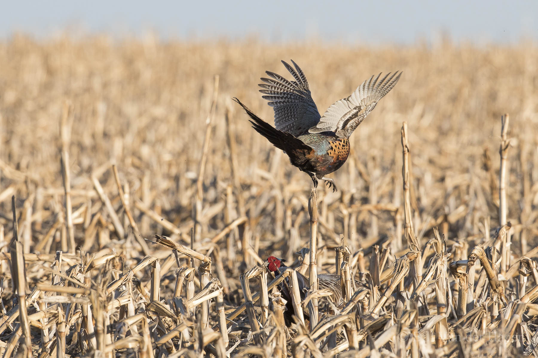 ringneck pheasant photography springtime battle 2