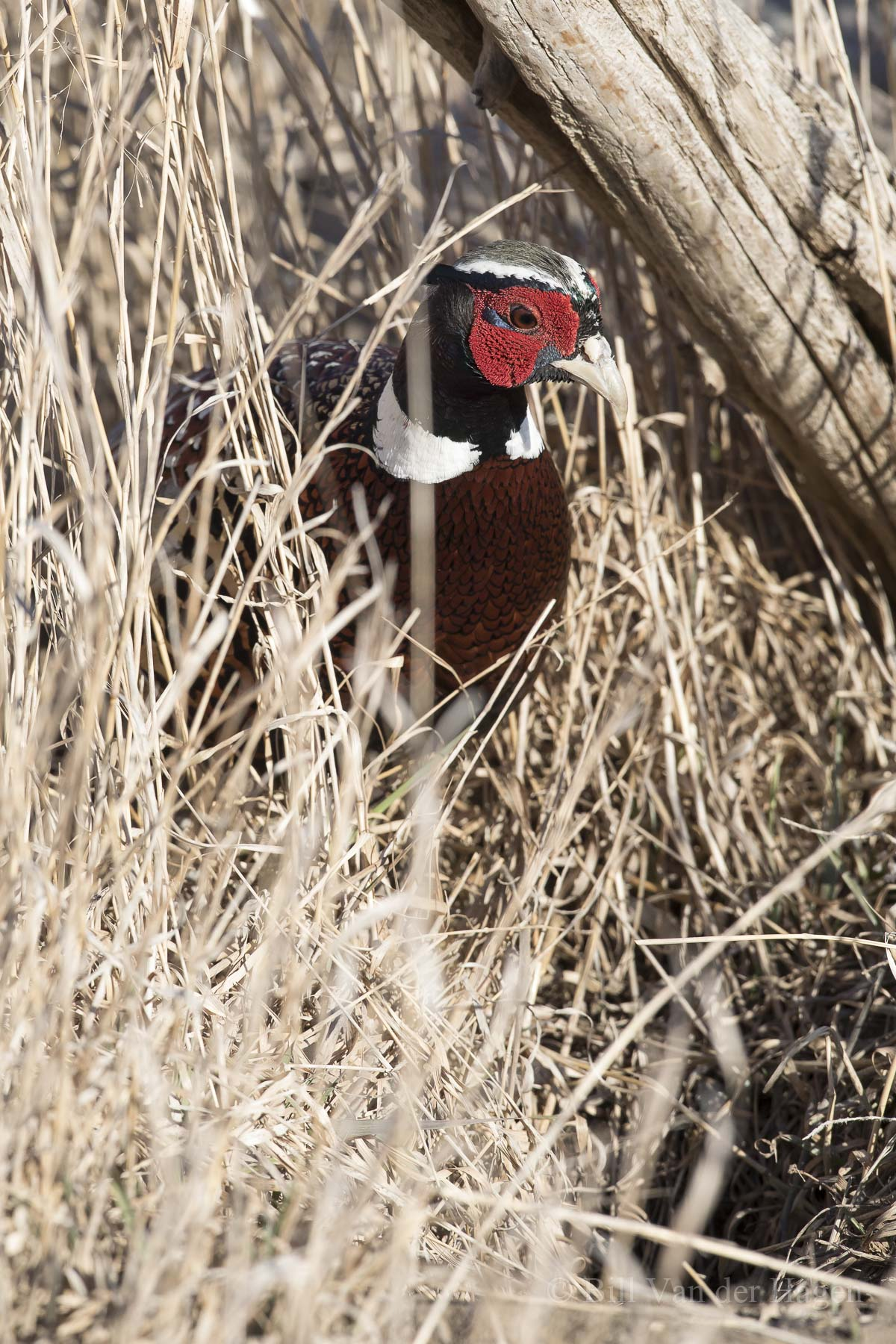ringneck pheasant by fence post image