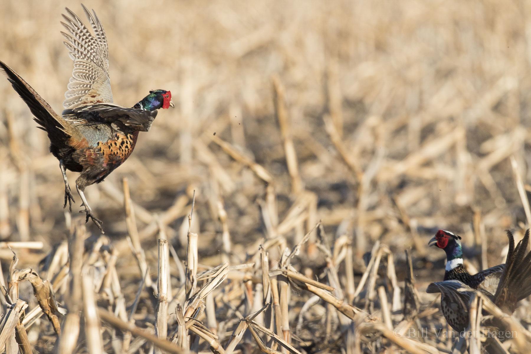 ringneck pheasant photography springtime battle territory