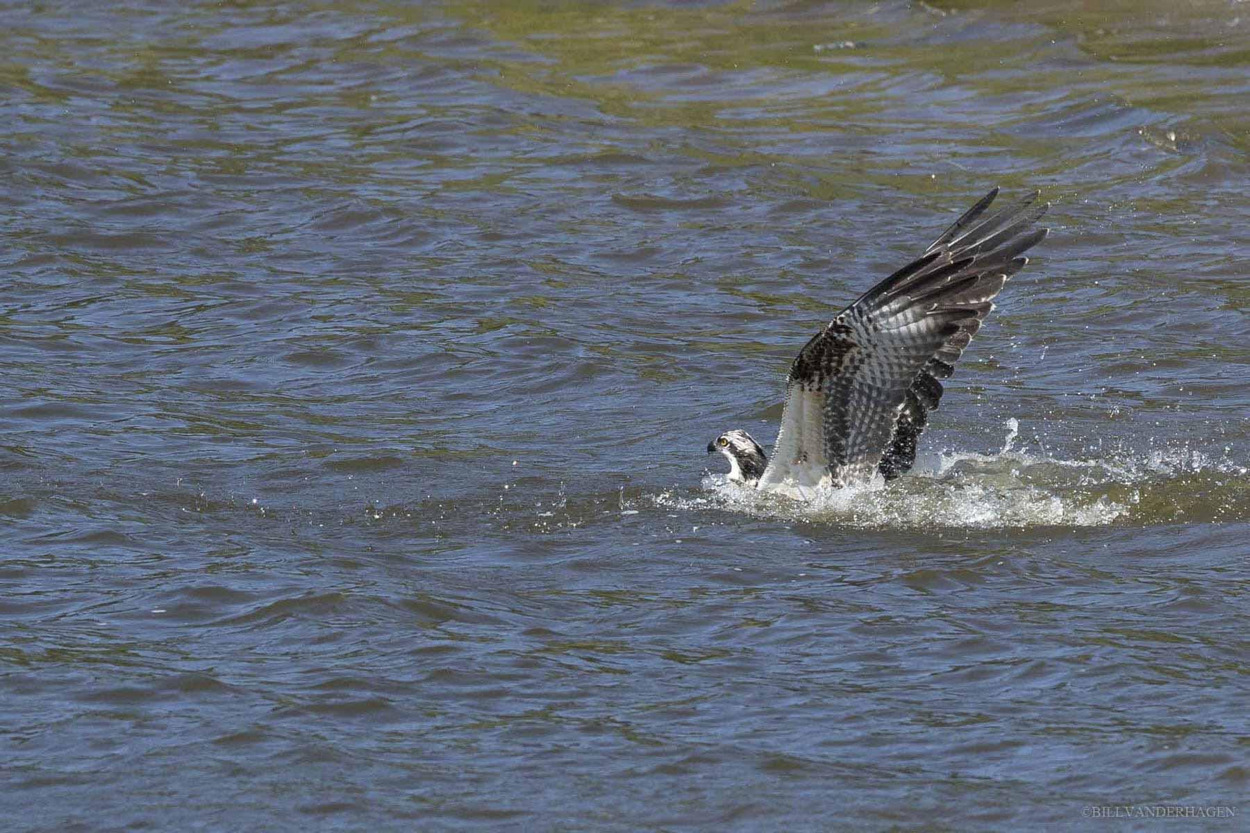 osprey fishing in lake south dakota
