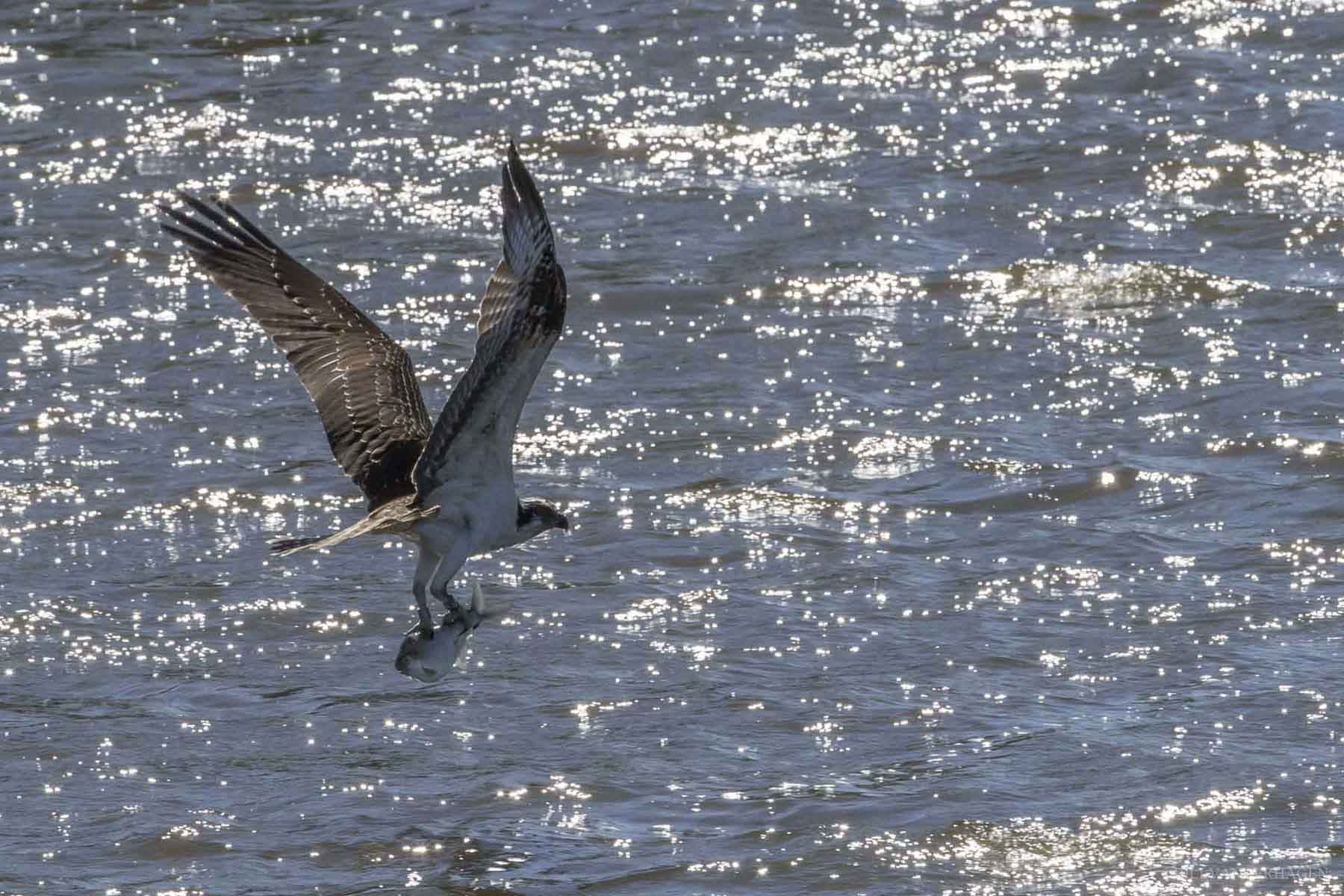 osprey with fish flying