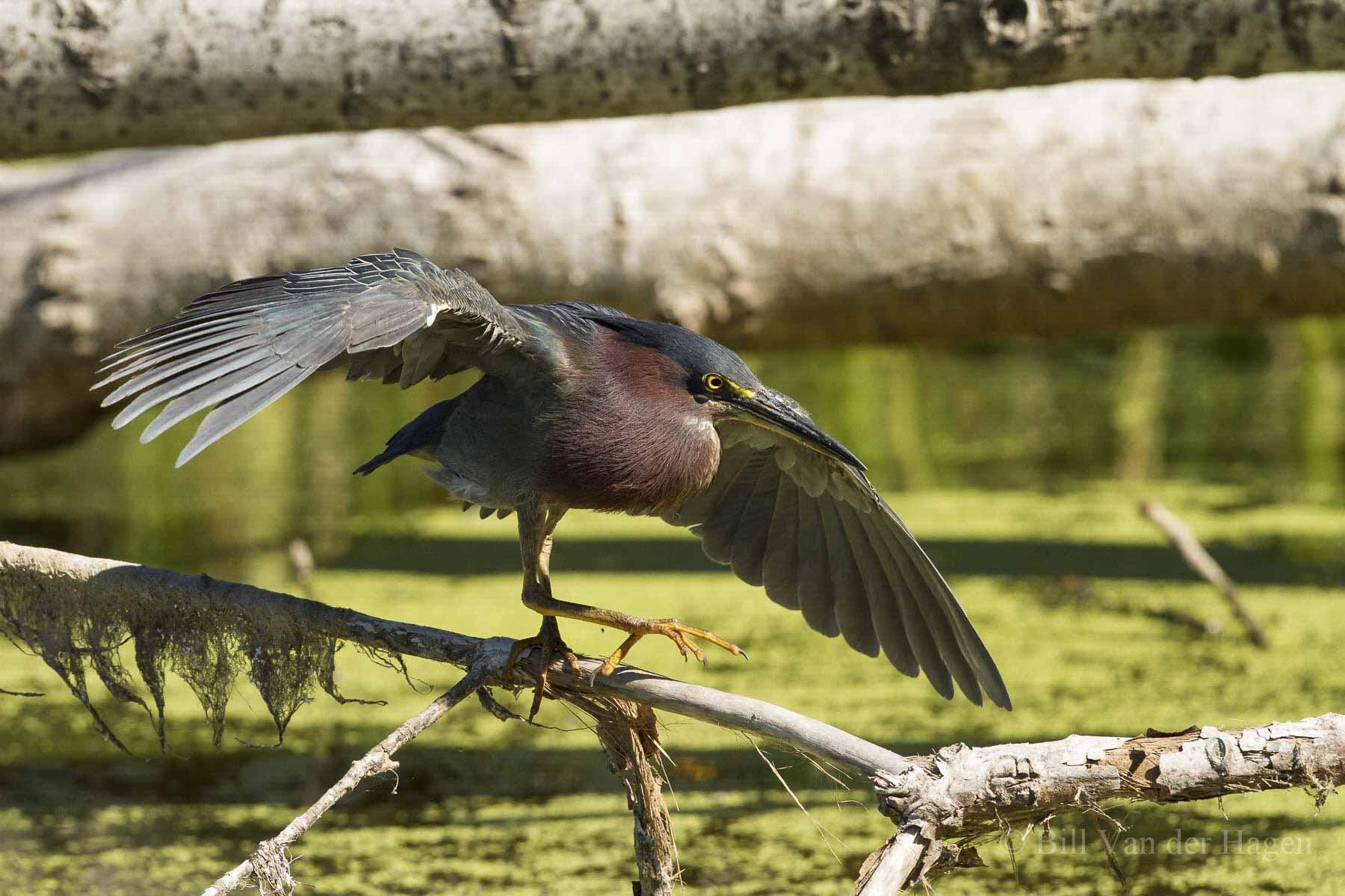 green heron fighting stance on log