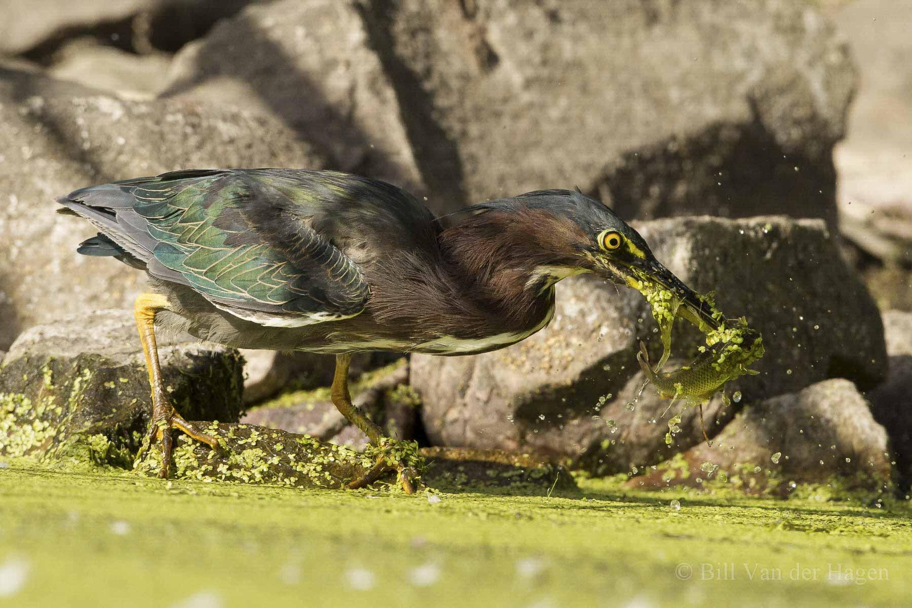 green heron fishing in water