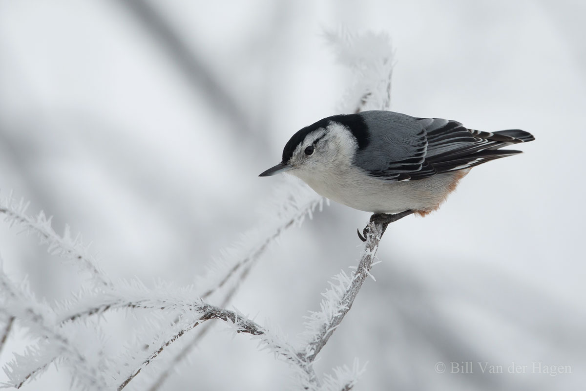 nuthatch in frosted trees bird photography