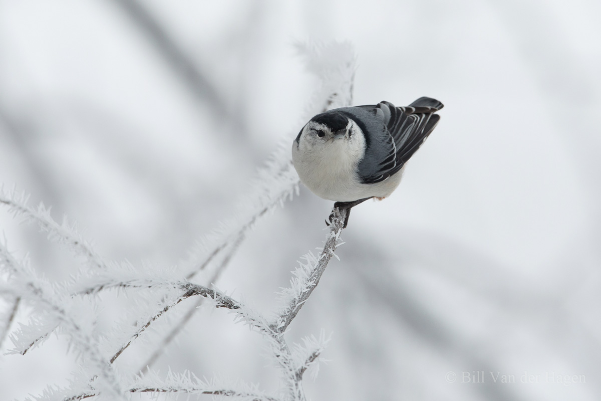 nuthatch stare down - minnesota frosted winter trees