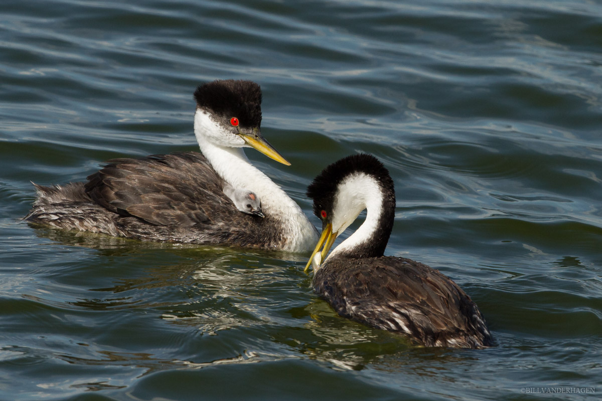 Photo of western grebe family feeding young chick on adults back