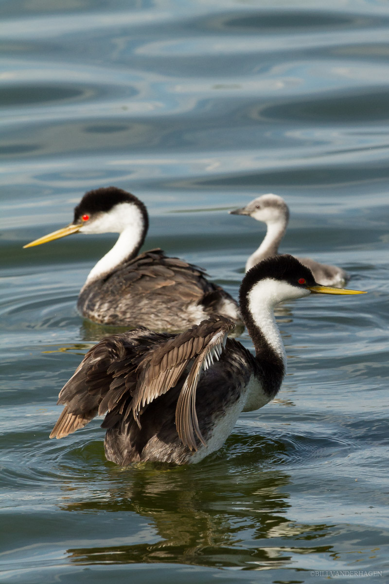 Western Grebe Drying Off - Wildlife Photography