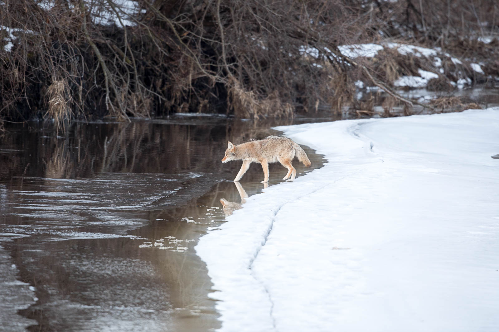 Coyote Walking through river - Wildlife photography