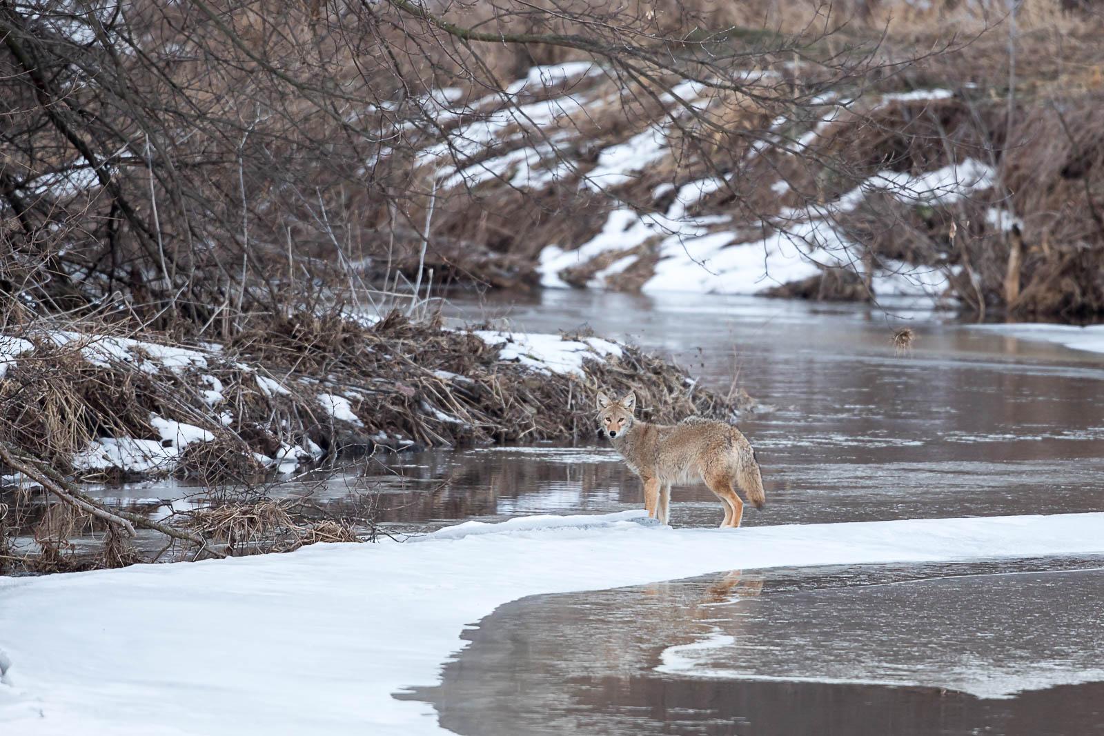 Coyote leaving on last ice South Dakota Wildlife