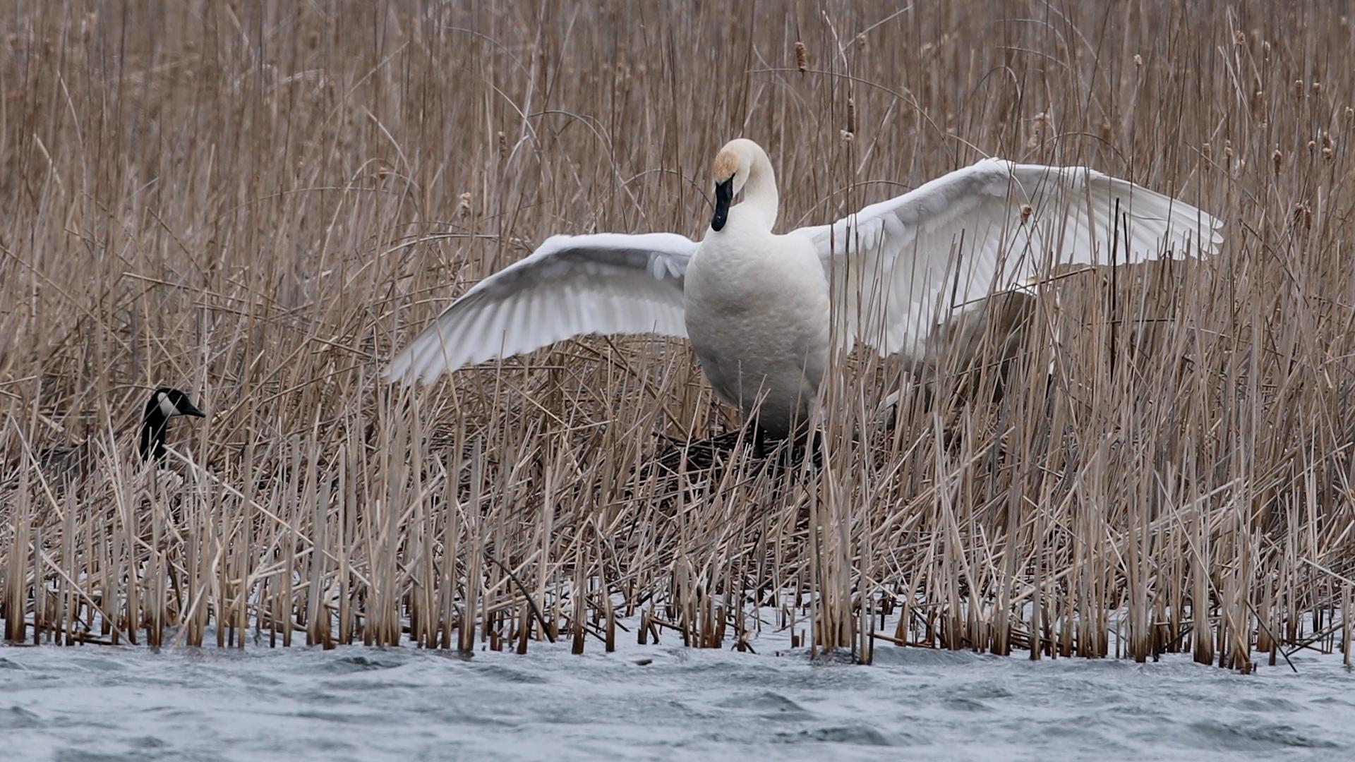 Nesting Trumpeter Swan photo Minnesota