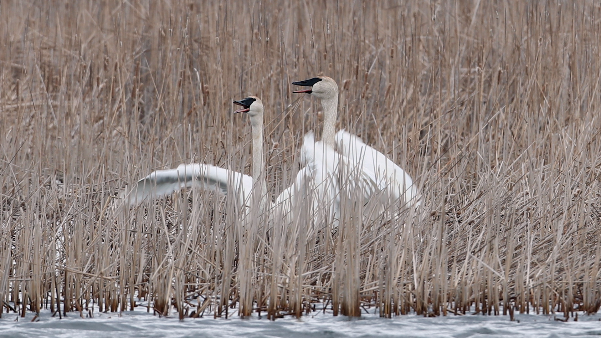 Dancing Trumpeter Swans Minnesota Wildlife Photography