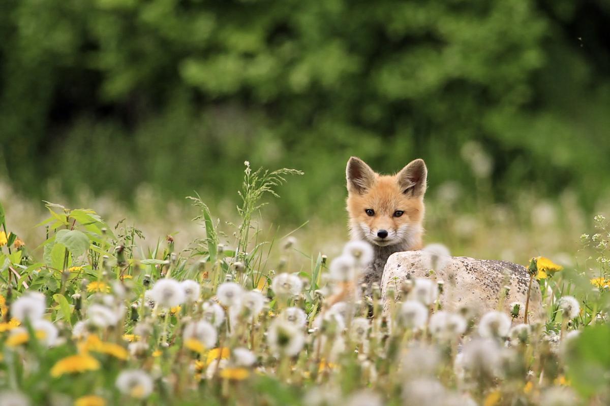 Lone Red Fox Pup in the dandellion fields of Minnesota
