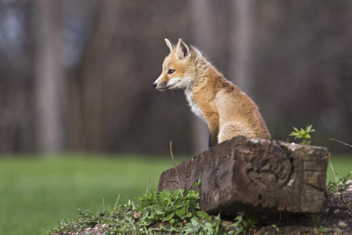 Red fox on a railroad tie - Minnesota Wildlife Photos