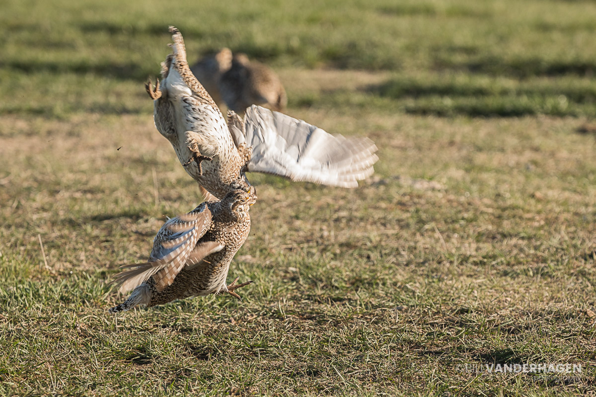 Sharp Tailed Grouse Lek Battle