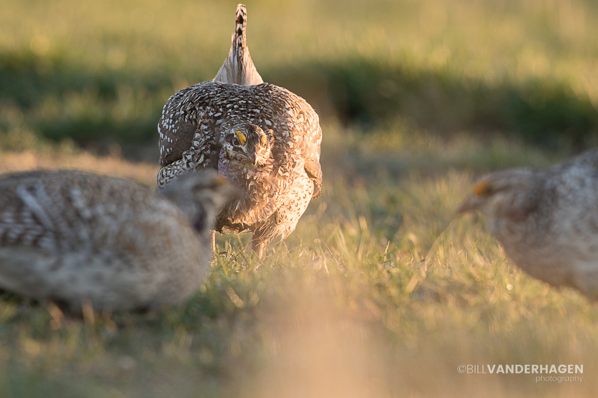 Pre Battle in the Arena - Sharp Tailed Grouse Lek