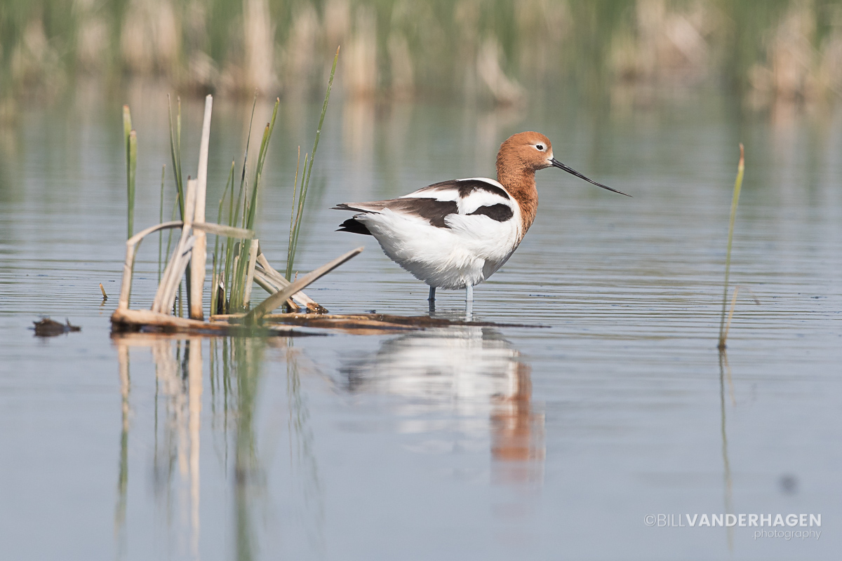 American Avocet Prairie Wetlands
