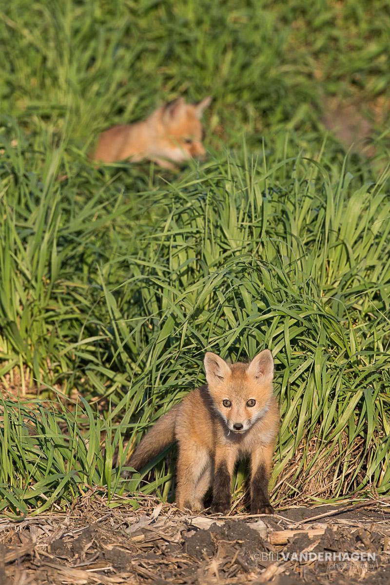 red fox pups