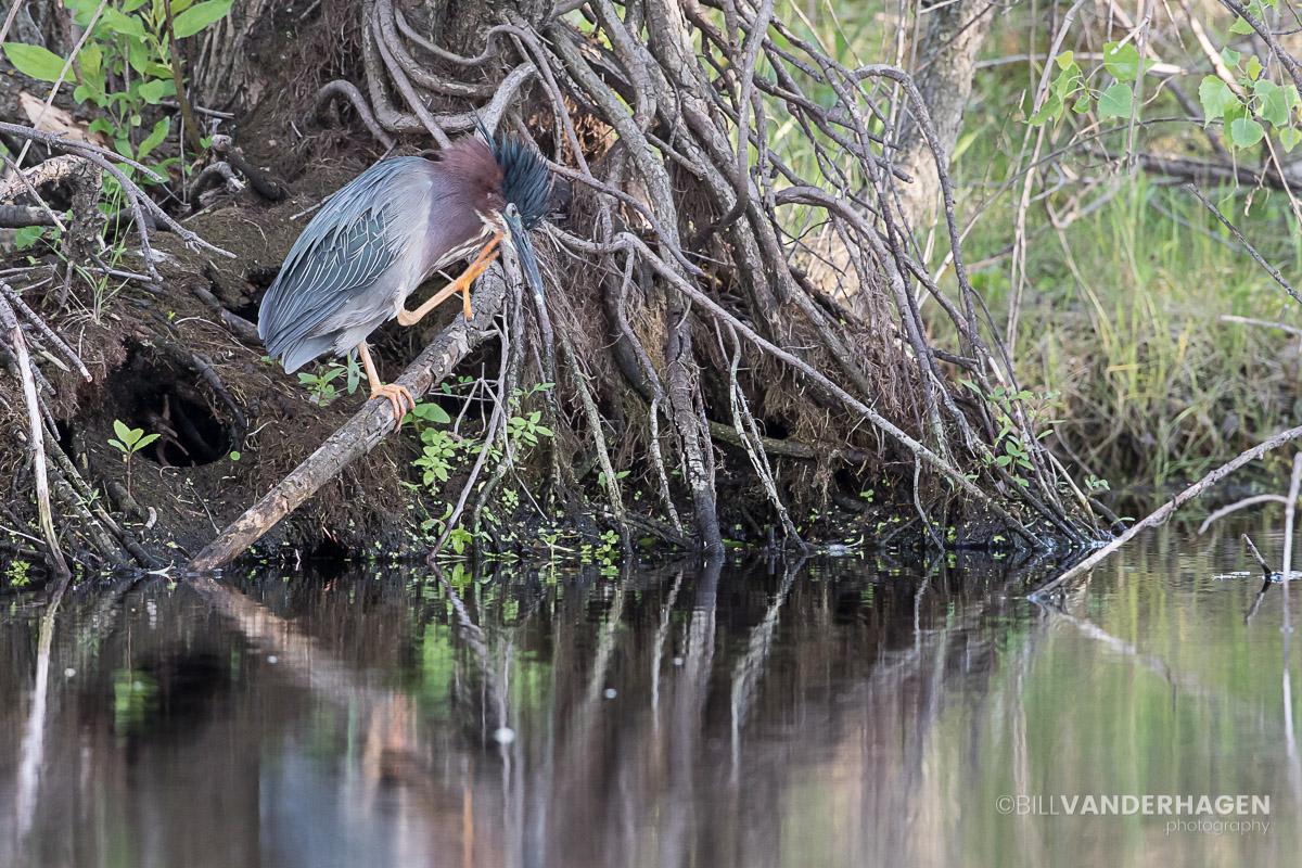 Green Heron Scratch