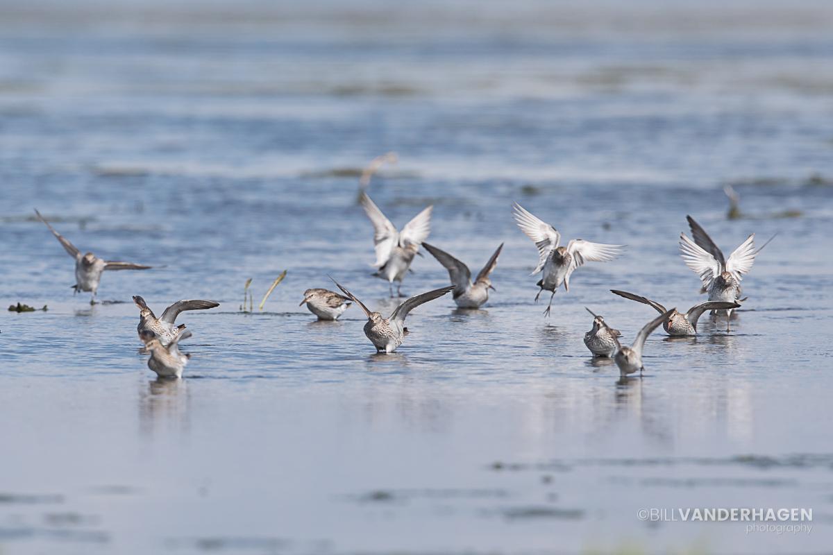 White rumped sandpiper landing