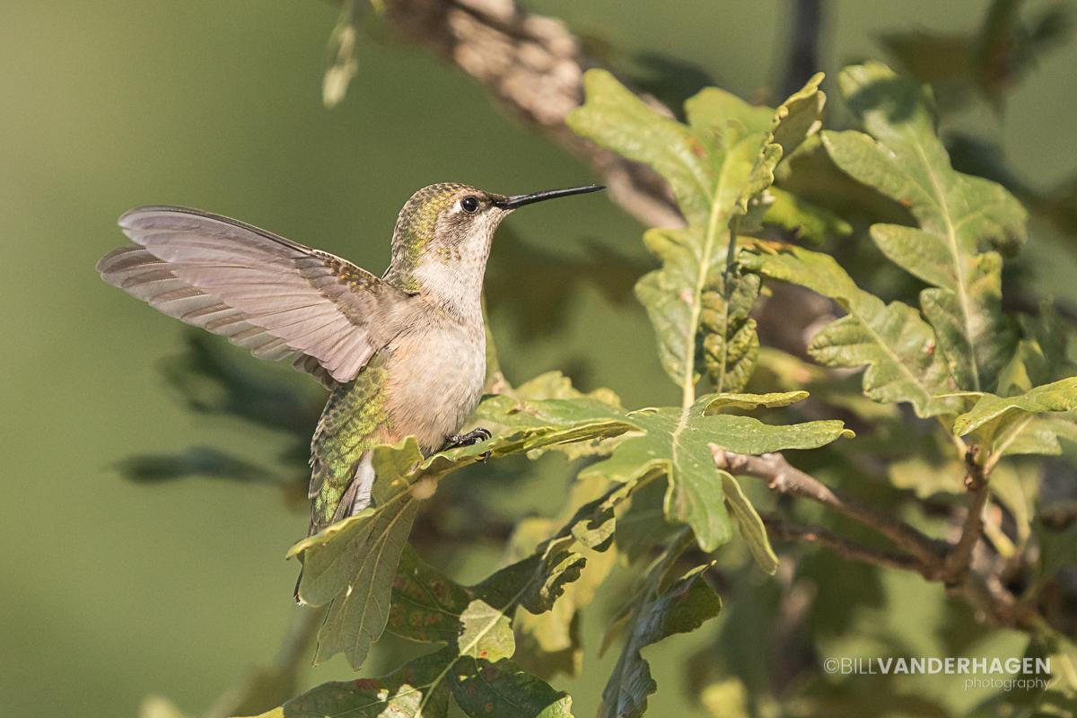 Ruby throated hummingbird in a small oak tree