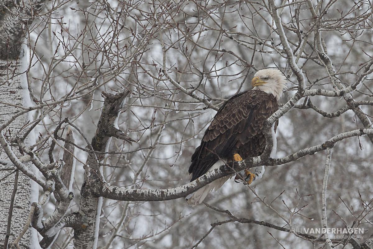 Bald Eagle in paper birch tree