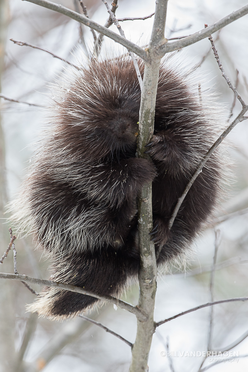 Porcupine chewing tree bark