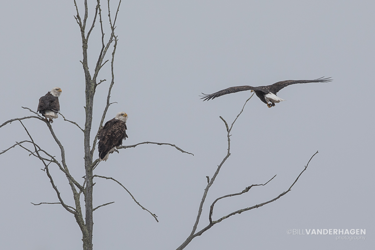 Third eagle incoming for landing in tree