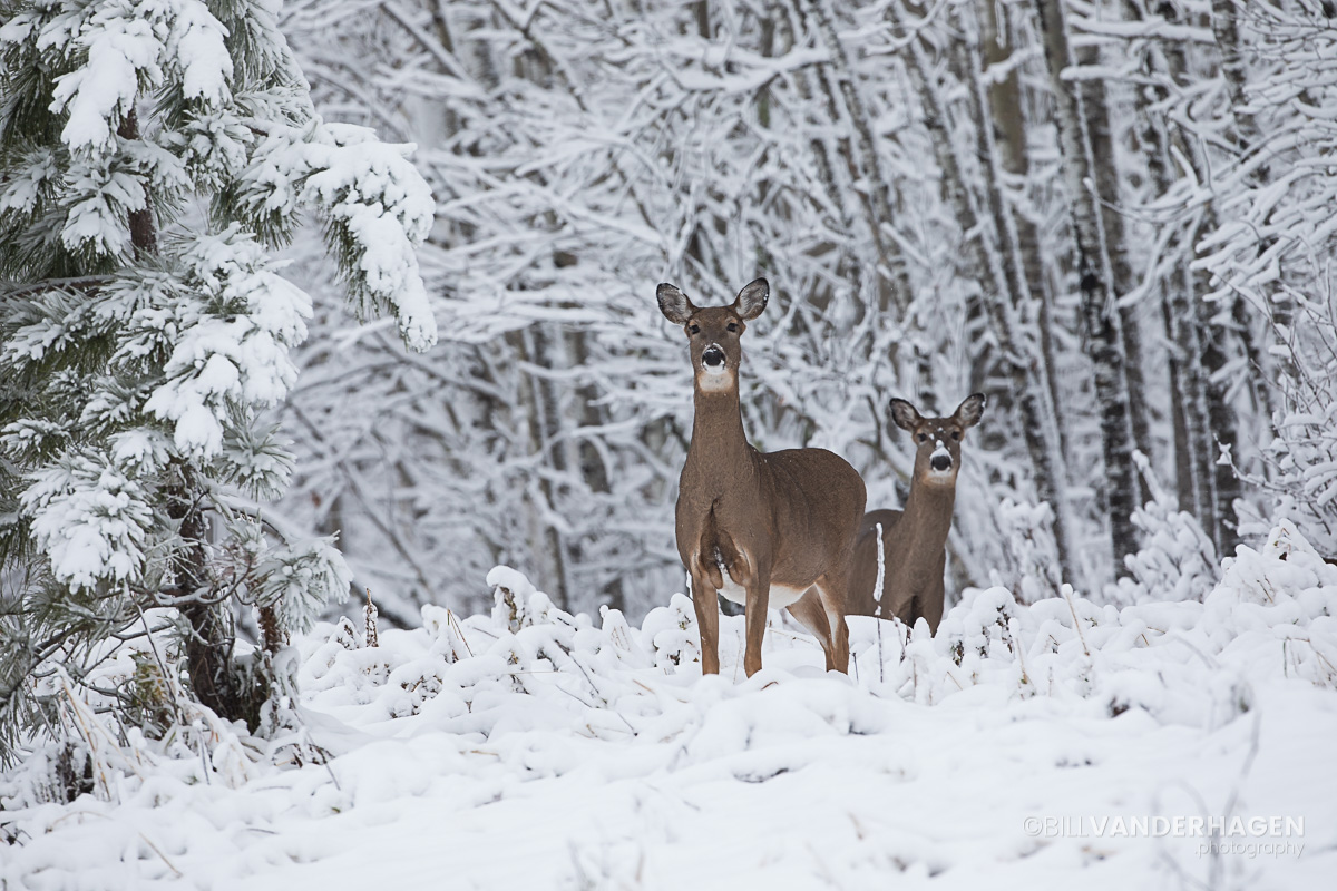 Whitetail deer in the first snowfall