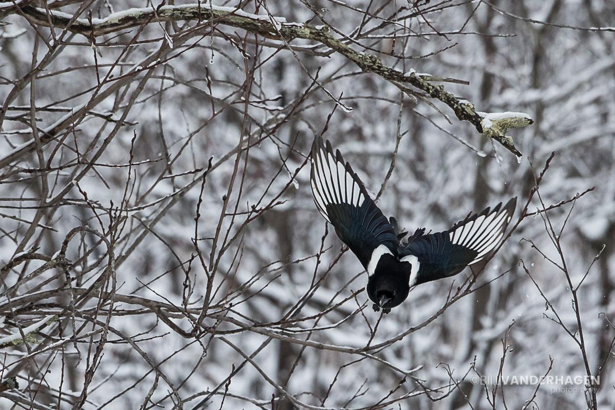 Magpie in flight - Minnesota